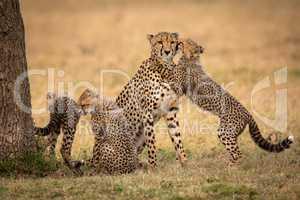 Cub hugs and nuzzles cheetah beside siblings
