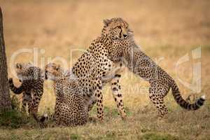 Cub hugs cheetah on grass beside siblings