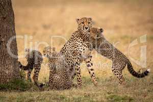 Cub hugs cheetah on grass by siblings