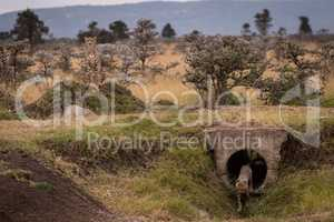 Cub leaves concrete pipe guarded by cheetah