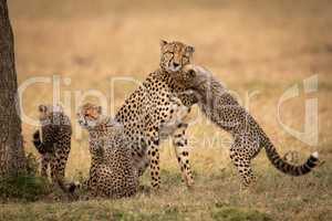 Cub nuzzles cheetah on grass beside siblings