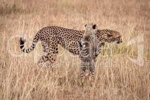 Cub on hind legs leaning on cheetah