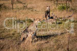 Cub on log behind cheetah and sibling