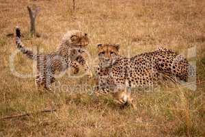 Cub pounces on scrub hare by cheetah