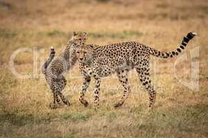 Cub putting paws on back of cheetah