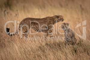 Cub sits in grass with cheetah behind
