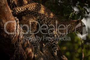Cub stands behind leopard lying in branches