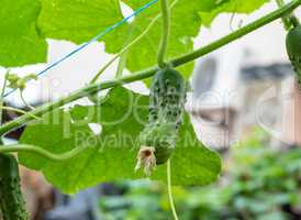 growing cucumber bushes with fruits