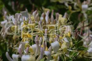 Blütenstand des Wald-Geißblatt