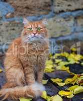 big red cat sitting