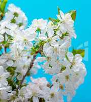 branches blooming white cherry on a blue background