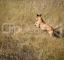 running through the grass American pit bulls