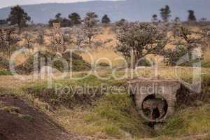 Cub stands in pipe guarded by cheetah