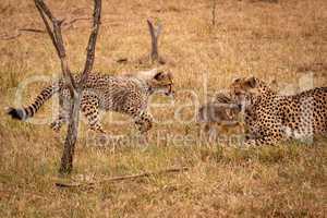 Cub walks towards cheetah biting scrub hare
