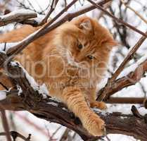 big red cat sitting on a branch on a winter day