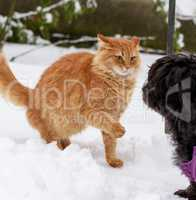 big red cat playing with a black dog in the snow