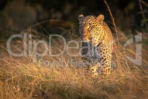 Leopard stands in long grass at dawn