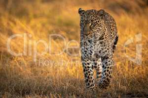 Leopard walking in golden grass at dawn
