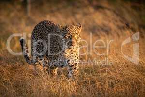 Leopard walking in long grass at dawn