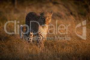 Leopard walking through long grass at dawn