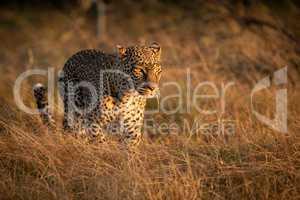 Leopard walks in long grass at dawn
