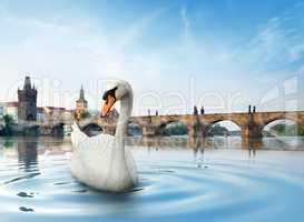 Swan in Prague