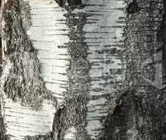 The texture of the birch tree with a unique bark pattern
