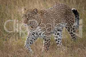 Leopard walks through long grass looking ahead