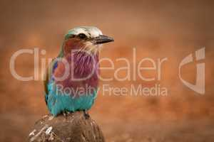 Lilac-breasted roller perches on rock facing camera