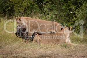 Lioness drags wildebeest by neck past another
