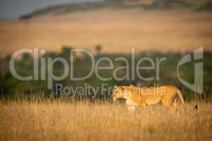 Lioness walking in long grass on horizon