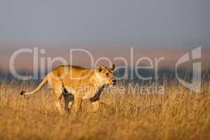 Lioness walks in long grass on horizon
