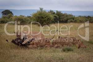Lionesses and cubs eat wildebeest in savannah