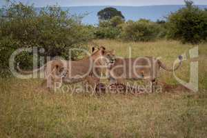 Lionesses and cubs stand over wildebeest carcase