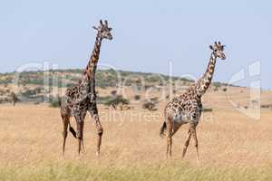 Male and female giraffe crossing grassland side-by-side