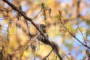 Big Cypress Fox Squirrel Sciurus niger avicennia eats berries on