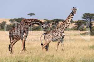 Male Masai giraffe bending to sniff female