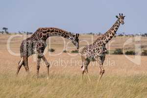 Male Masai giraffe bends to sniff female