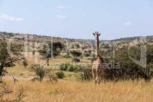 Masai giraffe facing camera among whistling thorns