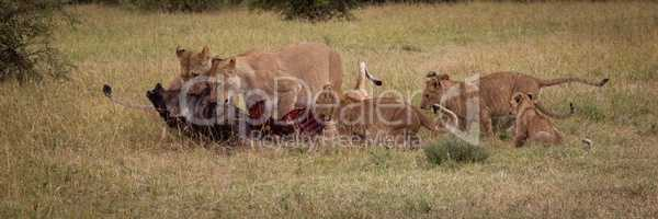 Panorama of lionesses eating wildebeest and cubs