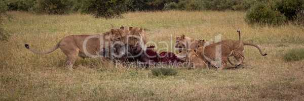Panorama of lions feeding on wildebeest carcase