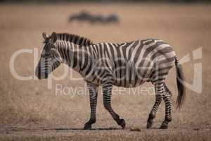 Plains zebra crosses grassland with wildebeest behind