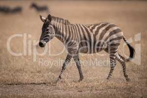 Plains zebra crosses savannah with wildebeest behind