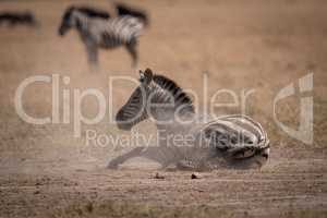 Plains zebra lies in dust in savannah