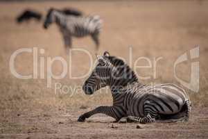 Plains zebra lies on grass in savannah
