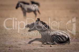 Plains zebra lies on savannah opening mouth
