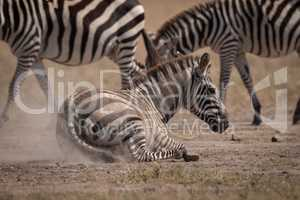 Plains zebra lying in dust beside others