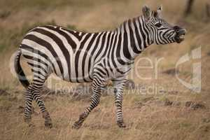 Plains zebra lifting head and showing teeth