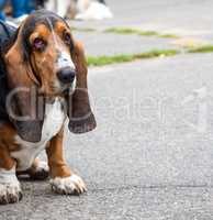 brown Basset Hound sits on the asphalt