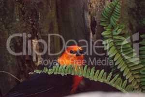 Scarlet-Headed Blackbird Amblyramphus holosericeus
